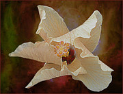 Barbara Middleton - Half Opened Hibiscus
