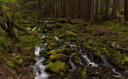 Olympic National Park Prints - Hall of the Mosses Print by Mike Reid