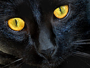 Black Cat Photos Photos - Halloween Cat by Skip Willits