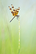 Dragonflies Art - Halloween Pennant Dragonfly at Lacassine by Bonnie Barry