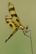 Westchester County Posters - Halloween Pennant Dragonfly Poster by Clarence Holmes