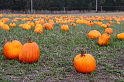 Pumpkin Patch Photos - Halloween Pumpkin Patch 7D8383 by Wingsdomain Art and Photography
