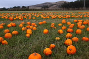 Half Moon Bay Metal Prints - Halloween Pumpkin Patch 7D8388 Metal Print by Wingsdomain Art and Photography