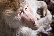 Hamadryas Baboon Print by Andrew  Michael