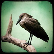 Exotic Bird Photography Framed Prints - Hamerkop Framed Print by Gary Heller