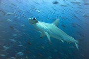 Hammerhead Framed Prints - Hammerhead Shark Framed Print by Peter Scoones