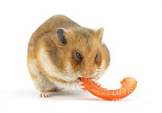 Syrian Hamster Photos - Hamster Eating Tomato by Jane Burton