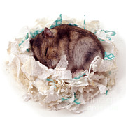 Hamster Framed Prints - Hamster Framed Print by Jane Burton