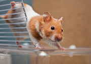 Veterinary Prints - Hamster Print by Tom Gowanlock