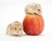 Food Humor Prints - Hamsters Print by Jane Burton