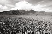 Harvest Art Prints - Hanalei Taro Fields Print by Bob Abraham - Printscapes