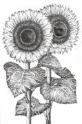 Monochrome Drawings Framed Prints - Hand Drawn Image of Two Sunflowers Framed Print by Evelyn Sichrovsky