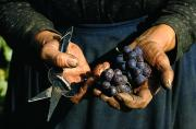 Industry And Production Art - Hands Holding Muscatel Grapes by James P. Blair