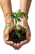 Caring Photo Posters - Hands Holding Seedling Planted In Soil Poster by Brooke Whatnall
