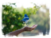 Scrub Jay Posters - Hands On Nature Poster by Vilma Rohena