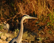 Great Birds Prints - Handsome Heron Print by Al Powell Photography USA