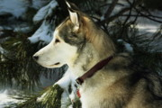 Husky Photo Prints - Handsome Husky Nanuk Print by Marjorie Imbeau