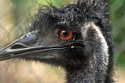 Emu Prints - Handsome Print by Kaye Menner