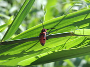 Struggling Photos - Hang in There Red Milkweed Beetle by JB Ronan
