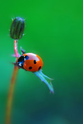 Ladybird Photos - Hang by Yhun Suarez