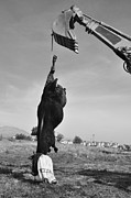 Ali Alkis - Hanged Cow for Sacrifice...