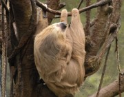 Sloth Metal Prints - Hangin Out Metal Print by Christine Belt