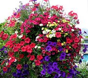 Petunias Framed Prints - Hanging Basket Framed Print by Will Borden
