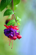 Bouquet Of Flowers Posters - Hanging gardens Fuschia Poster by Laura Mountainspring
