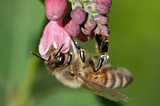 Nectar Metal Prints - Hanging Honey Bee Metal Print by Gert Lavsen