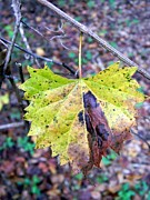 Grape Leaf Prints - Hanging In Print by Warren Thompson