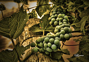 Silver Hills Winery Prints - Hanging on a Vine Print by Jeff Swanson