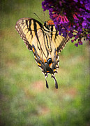 Tiger Swallowtail Digital Art Prints - Hanging On Print by Darren Fisher