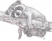 Raccoon Drawings - Hanging Out by Debra Sandstrom
