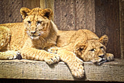 Lion Cub Sleeping Posters - Hanging Out Poster by Steve McKinzie