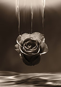 Hildingsson Prints - Hanging rose Print by Johnny Hildingsson