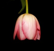 Oregon Flowers Posters - Hanging Tulip Poster by Cathie Tyler