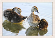 Ducklings Photos - Hanging With The Buds by Deborah Benoit