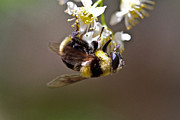 Hanging With The Bumble Bee Print by Mitch Shindelbower