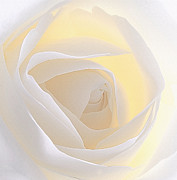 White Rose Prints - Hankering Print by Kristin Kreet