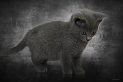 Cute Kitten Posters - Hannahs Kitten Poster by Ron Jones
