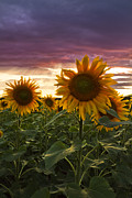 Pretty Wildflower Prints - Happiness is a Field of Sunflowers Print by Debra and Dave Vanderlaan