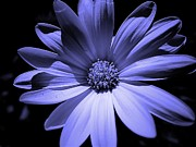 Happy African Daisy In Blue Print by Beth Akerman