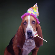 Basset Hound Photos - Happy Birthday Basset Hound by Stan Fellerman