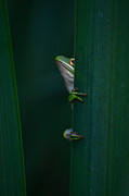 Frogs - Happy Birthday Debbie by Kathy Gibbons