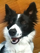 Border Photo Originals - Happy Border Collie  by Nicole Bibbens