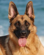 K9 Greeting Cards Photos - Happy Dog - German Shepherd by Angie McKenzie