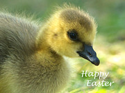Gosling Framed Prints - Happy Easter Gosling Framed Print by Sharon  Talson