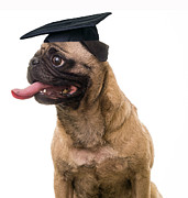 Pug Dog Posters - Happy Graduation Poster by Edward Fielding