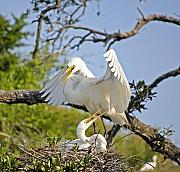 Egret Originals - Happy Great Egret Couple by Kenneth Albin