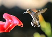 Hummingbird In Flight Posters - Happy Hummingbird Poster by Carol Groenen
